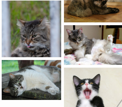 CC Image search Norwegian Forest Cat in tags